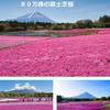 ゴールデンウイーク最高のハイライト「富士芝桜祭りIN富士本栖湖!」