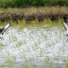 オグロシギ 繁殖羽できれいになっています。