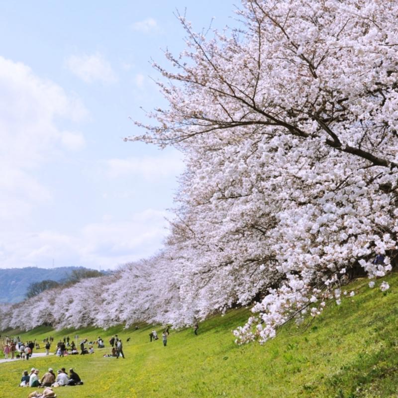 そうだお花見に行こう!サクラサク水辺の桜さんぽ道