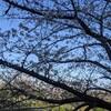 2021年の花見 その1 山崎川