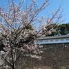 東京・皇居一般公開~千鳥ヶ淵で満開の桜を堪能散歩🌸