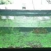 らんちゅうのための水草水槽を作りました