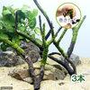 (水草)巻きたて ジャイアント南米ウィローモス付 枝状流木 Mサイズ(無農薬)(3本)