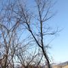 反対側に倒れたがっている木の倒し方