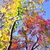 """深い秋色に染まりつつある樹々と野鳥たち  """"クロジ"""" """"ジョウビタキ"""" """"オカヨシガモ""""他  野鳥撮影《第98回目》"""