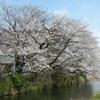 桜を見るため散歩