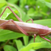 Pink grasshopper in Kyoto
