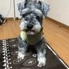 【お留守番】忠犬シュナ公でございます