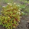 ハマボッスの花と葉