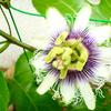 パッションフルーツの花と受粉のタイミング