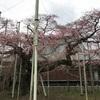 地元の枝垂れ桜も咲き始めました