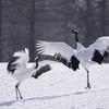2019年3月3日の鳥撮り(2/3)-鶴居村(1/2)