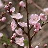 野生の桃も開花、桜は満開