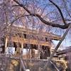 東郷寺の枝垂桜は今年も見事な花を咲かせた