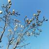 ハクモクレンの開花!青空をキャンバスに純白で描く花。