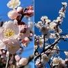 我が家の梅は,例年になく花を沢山つけて,青空に映えています.暖かい日射しに誘われてか,ボケが一輪咲きました.こちらは例年よりかなり早いように思います.どちらもバラ科サクラ亜科.ただし,サクラ亜科の中ではちょっと遠い関係にあって,ボケは系統樹上ではリンゴに近い.元気いっぱいのビオラ.そして沈丁花,福寿草.陽ざしはすっかりもう春.