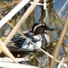 春の美しい鴨シマアジのオス