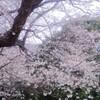 「耳をすませば」のモデルの地元の桜