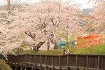函館公園で楽しむ満開の桜! 北海道で初めて作られた歴史ある公園。