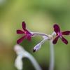 ペラルゴニウム シドイデスが咲いた