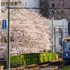 都電荒川線と桜の景色