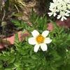 ウインターコスモス ストロベリーミルク開花!とアレナリア