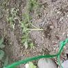畑の里芋がやっと顔を出し始めた
