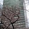 新宿中央公園のサクラ🌸