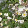 ノイバラ,野ばら,Rosa multiflora,