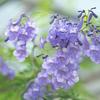夏の青紫:ジャカランダ