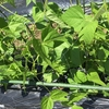 夏野菜の成長にビックリしました。
