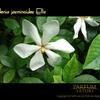 くちなし ガーデニア Gardenia 白い花