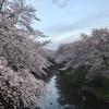 山形県東置賜郡 後藤酒造店【辯天】& 満開の桜