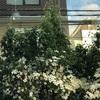 ヤマボウシ 街路樹