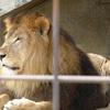 動物園の檻を消す(ライオン)