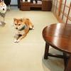 京都四条の豆柴カフェ!整理券をもらい30分間小さな豆柴たちと遊ぶことができます。