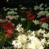 開成町金井島 瀬戸屋敷の赤と白の彼岸花が見頃です