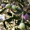 オリーブの実 オリーブオイルをとるのは,青い実ではなく熟した赤紫〜黒紫になった実.日本ではスペイン・イタリアからの輸入したオイルを利用しています.Oil(油脂)&Oleoc Acid(オリーブ油に多い脂肪酸)の語源は元をたどると同じラテン語Oleum(オリーブオイルのこと).ヨーロッパ言語では「オイルと言えばオリーブオイル」?