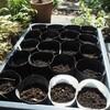 ビオラに続く秋の種蒔きとこぼれ種の発芽