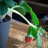 さかがみ農園の苺のポット苗🍓