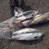 ランクB.カラフトマス釣りを楽しむ!!/今日の紋別港釣り情報
