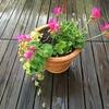鮮やかなピンクのゼラニウムとグレコマの寄せ植え
