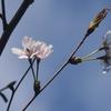 遅咲きの桜の次は紫陽花で はたまたはまゆの夜cafeを
