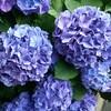 紫陽花の色