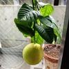 室内で鉢植えレモン『アレンユーレカレモン』を栽培してます!
