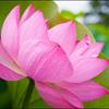 神秘的な美しさ!蓮の花揺れるフラワーセンター大船植物園!