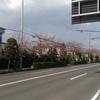 北街道の桜並木