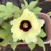 今日の綿の花