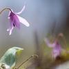 【遅れてきた春】北海道にもカタクリの花が咲き始めました