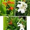 ヒメヒオウギズイセン:名前がこれでいいのか?まだ確信が持てていません.ユリの隣に咲いていますが,ユリ目の隣に位置するキジカクシ目(アヤメ科も所属)./ 毎年期待しているササユリは今年も花を咲かすことはありませんでした..